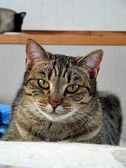 American Shorthair Cat for adoption in Palo Cedro, California - Topaz