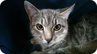 Domestic Shorthair Cat for adoption in Burlington, North Carolina - Briscoe