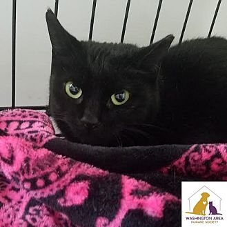 Domestic Shorthair Cat for adoption in Eighty Four, Pennsylvania - Lover