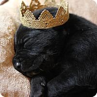 Adopt A Pet :: Daryl - Fredericksburg, VA