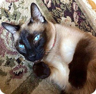 Siamese Cat for adoption in Greenburgh, New York - Pi