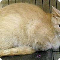 Domestic Shorthair Cat for adoption in Oskaloosa, Iowa - CB