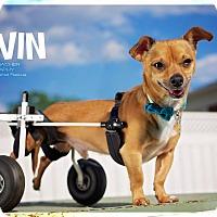 Adopt A Pet :: Alvin - Cincinnati, OH