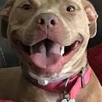 Adopt A Pet :: Stella - Memphis, TN
