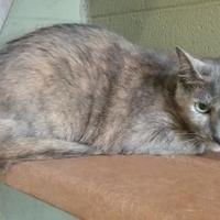 Adopt A Pet :: Hinata - Cincinnati, OH