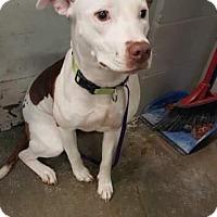Labrador Retriever/American Pit Bull Terrier Mix Dog for adoption in Stoneham, Maine - Fiona