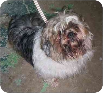 Shih Tzu Mix Dog for adoption in Honesdale, Pennsylvania - Snickers