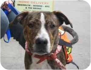 American Staffordshire Terrier/Hound (Unknown Type) Mix Puppy for adoption in Long Beach, New York - Happy