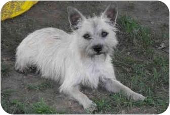 Cairn Terrier Mix Dog for adoption in Pittsburg, Kansas - Eddie