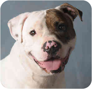 American Bulldog/American Staffordshire Terrier Mix Dog for adoption in Chicago, Illinois - Scotty
