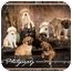"""Photo 1 - German Shepherd Dog/Golden Retriever Mix Puppy for adoption in Callahan, Florida - """"Friends"""" litter"""
