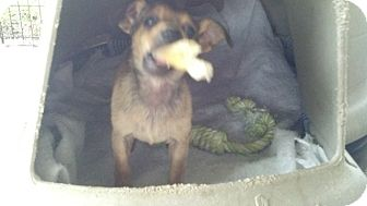 Dachshund/Terrier (Unknown Type, Small) Mix Puppy for adoption in Bel Air, Maryland - Teddy