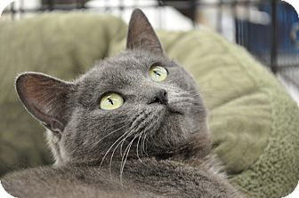 Domestic Shorthair Cat for adoption in Great Falls, Montana - Stacie