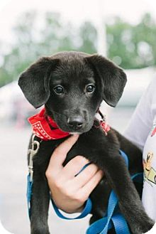 Labrador Retriever Mix Puppy for adoption in Marietta, Georgia - Sabrina