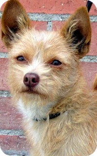 Terrier (Unknown Type, Small) Mix Dog for adoption in Los Angeles, California - Rooney *VIDEO*