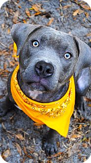 American Staffordshire Terrier Mix Puppy for adoption in Orlando, Florida - Stella