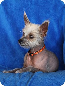 Chinese Crested Dog for adoption in Wichita, Kansas - Lizzy