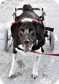 Beagle Mix Dog for adoption in Bradenton, Florida - Squirt