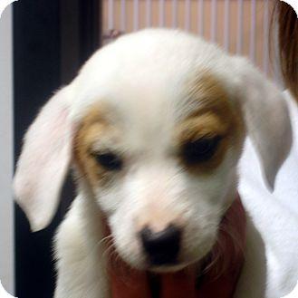 Beagle/Feist Mix Puppy for adoption in Greencastle, North Carolina - Monique