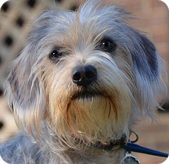 Yorkie, Yorkshire Terrier/Dachshund Mix Dog for adoption in Staunton, Virginia - Smokey *URGENT