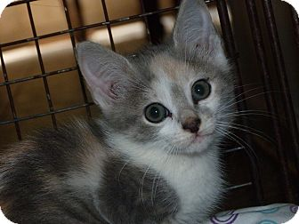 Calico Kitten for adoption in Stafford, Virginia - Jane