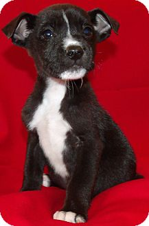 Pit Bull Terrier/Boston Terrier Mix Puppy for adoption in Corona, California - TOMAS