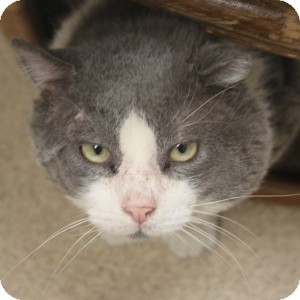 Domestic Shorthair Cat for adoption in Naperville, Illinois - Storm