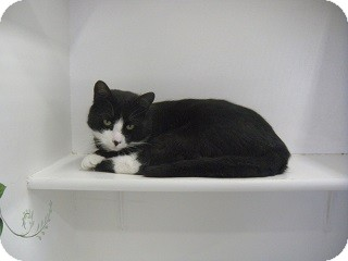 Domestic Shorthair Cat for adoption in Fort Benton, Montana - Jerry