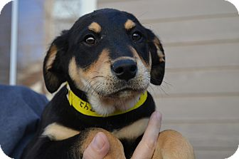 Rottweiler Mix Puppy for adoption in Westminster, Colorado - Rosco