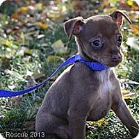 Adopt A Pet :: Dancing Queen - Broomfield, CO