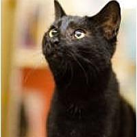 Domestic Shorthair Cat for adoption in McKinney, Texas - Roxy
