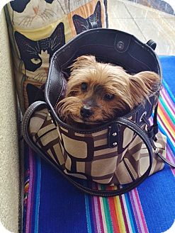 Yorkie, Yorkshire Terrier Dog for adoption in Parker, Colorado - Brady