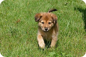 Sheltie, Shetland Sheepdog/Shepherd (Unknown Type) Mix Puppy for adoption in Pennigton, New Jersey - Ozzie