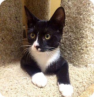 Domestic Shorthair Kitten for adoption in Santa Monica, California - BENNY