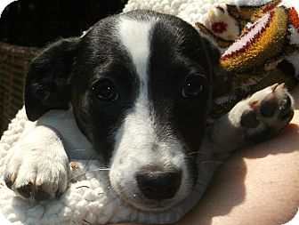 Beagle/Dachshund Mix Puppy for adoption in Foster, Rhode Island - Colt/Colby