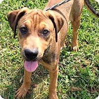 Adopt A Pet :: AMBER - CHAMPAIGN, IL