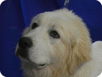 Great Pyrenees Dog for adoption in Granite Bay, California - AVERY