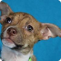 Adopt A Pet :: Yoda - Minneapolis, MN