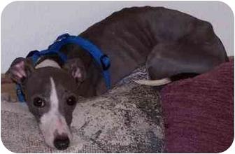Italian Greyhound Dog for adoption in Centinnial, Colorado - Kaiser
