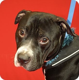 Pit Bull Terrier Mix Dog for adoption in Jackson, Michigan - Tyson