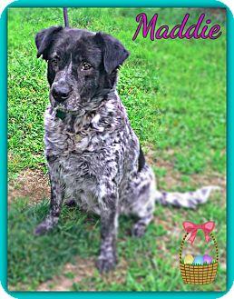 Newfoundland/German Shorthaired Pointer Mix Dog for adoption in Arlington, Virginia - Maddie