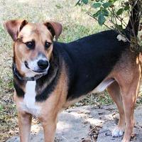 Basenji/Beagle Mix Dog for adoption in Whitewright, Texas - Chico