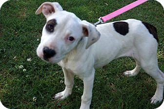 American Pit Bull Terrier/Boxer Mix Puppy for adoption in Newark, Delaware - Suzi