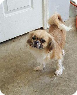 Shih Tzu Mix Dog for adoption in Hazard, Kentucky - Callie