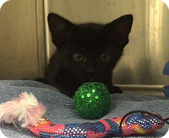 Domestic Shorthair Kitten for adoption in Fairfax, Virginia - Niko (and Rusty)