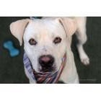 Labrador Retriever/Terrier (Unknown Type, Small) Mix Dog for adoption in Scottsdale, Arizona - Wyatt