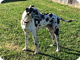 Great Dane Dog for adoption in Murfreesboro, Tennessee - Milo