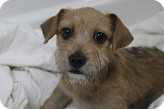 Schnauzer (Miniature)/Chihuahua Mix Puppy for adoption in Mt Sterling, Kentucky - Tony