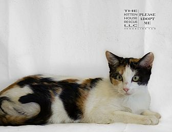 Calico Cat for adoption in Houston, Texas - PATINA