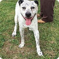 Adopt A Pet :: FREDDY - Cadiz, OH